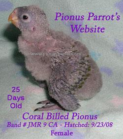 Pionus Parrot's Website - Coral Billed Pionus Female #9