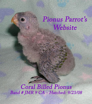 Pionus Parrot's Website - Young Coral Billed Pionus of 2008;  first hacth of 2nd clutch.