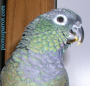 Pionus Parrot's Website - Felix the Head Honcho Maxi