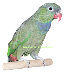 Pionus Parrot's Website - Coral Billed Pionus